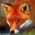 Mask狐狸